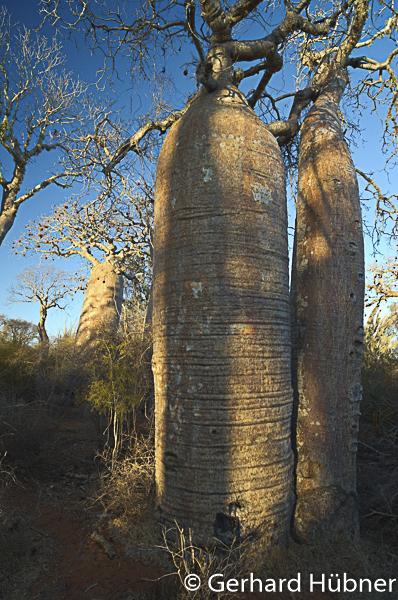 Baobabs at Ifaty, Gerhard Hübner