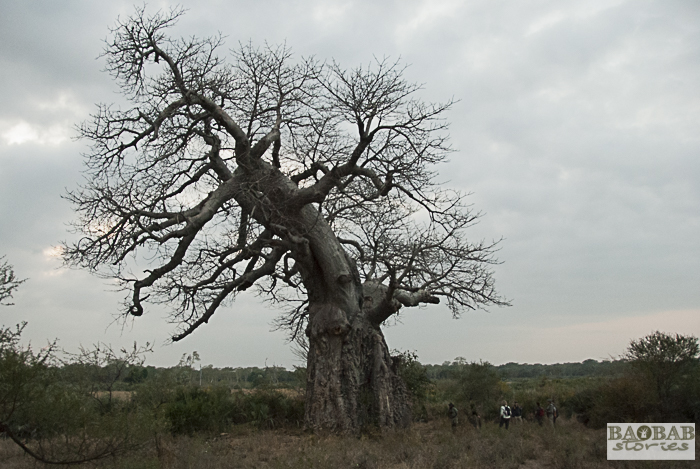 Baobab, Makuleke, South Africa