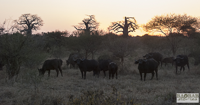 Baobabs and Buffaloes, Makuleke, South Africa