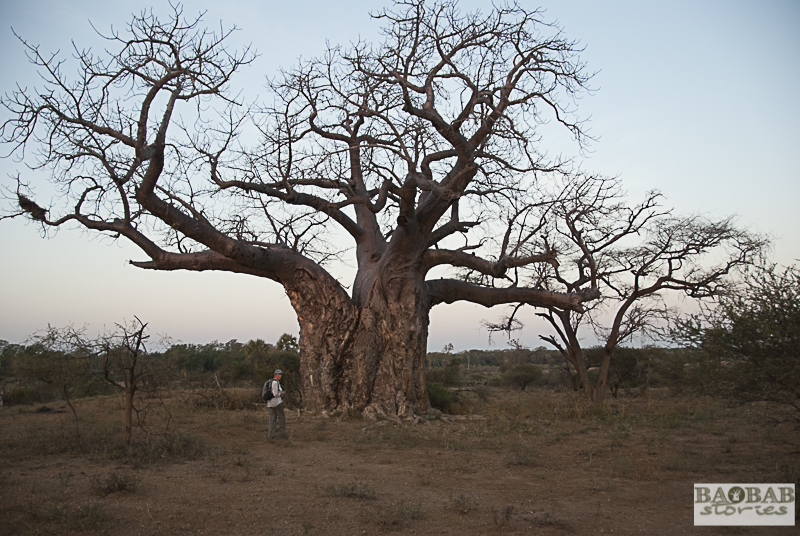 Old Baobab, Makuleke Concession, South Africa