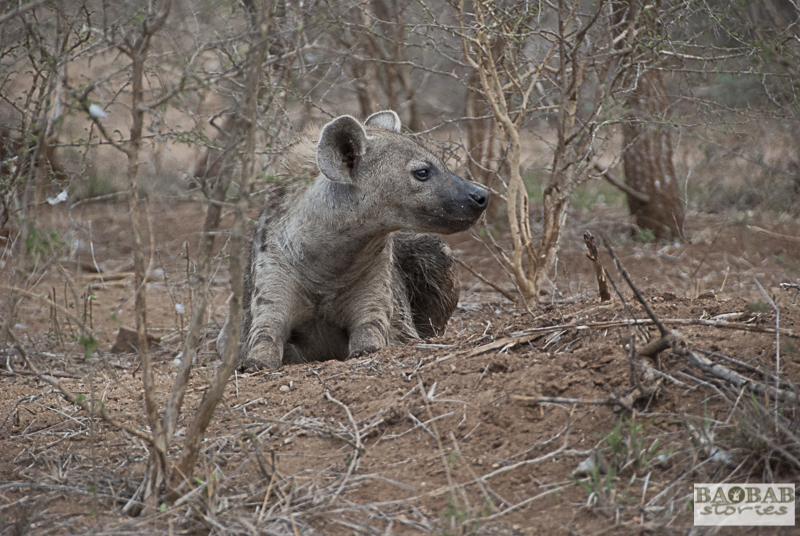Hyena, Krüger National Park, South Africa