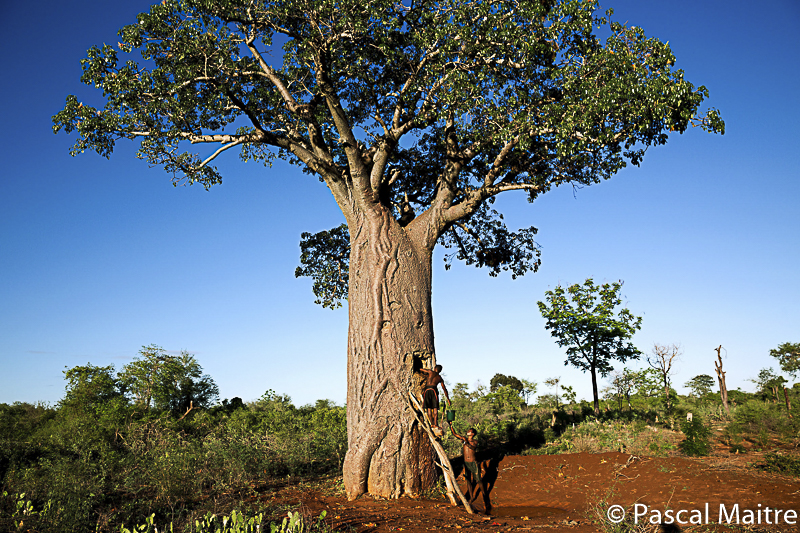 """Baobabs Adansonia ZA with humans using it as a cystern, baobab exhibition """"Baobab - the magic tree"""" at NHM, Vienna, Pascal Maître"""