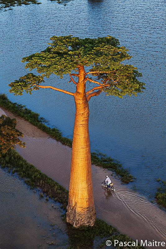 "Monrondave the alléé of big baobabs during raining season at sunset, baobab exhibition ""Baobab - the magic tree"" at NHM, Vienna, Pascal Maître"