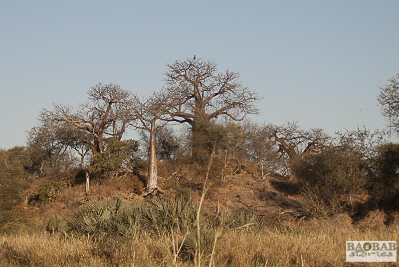 Baobabs, Makuleke