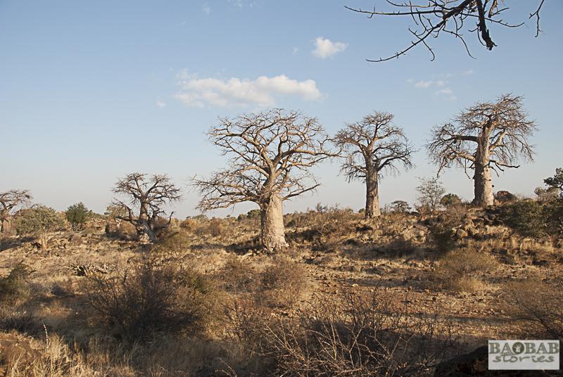 Baobab Alley, Mashatu, Botswana