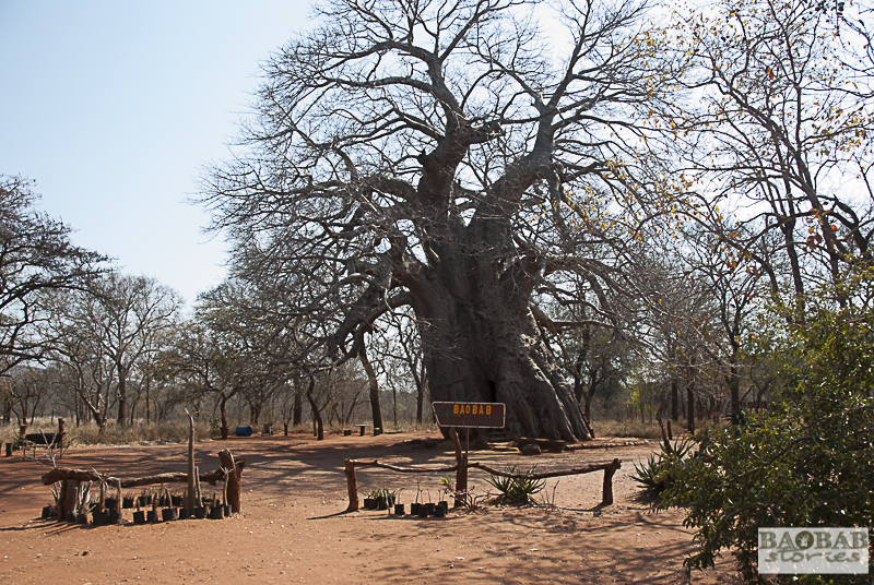 Leydsdorp Baobab, Südafrika