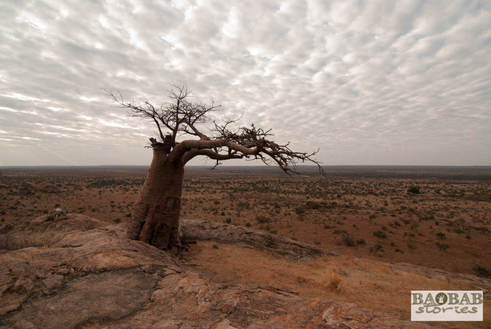 Rhodes Baobab, Mmamagwa, Mashatu, Tuli Block, Botswana