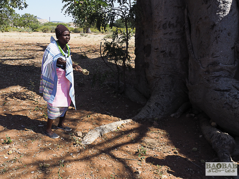 Martha Kwerana collecting baobab fruit, Zwigodini Village, Limpopo Province, South Africa, © Heike Pander