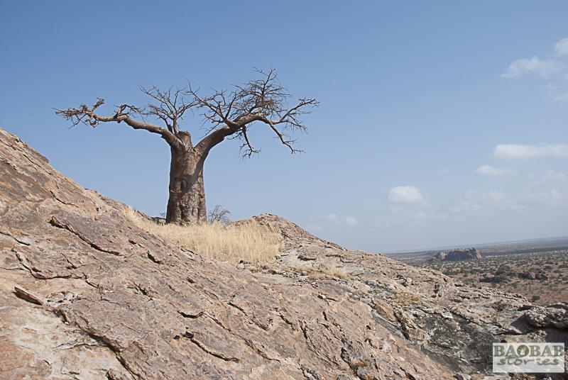 Rhodes Baobab, Mmamagwa, Mashatu, Botsuana
