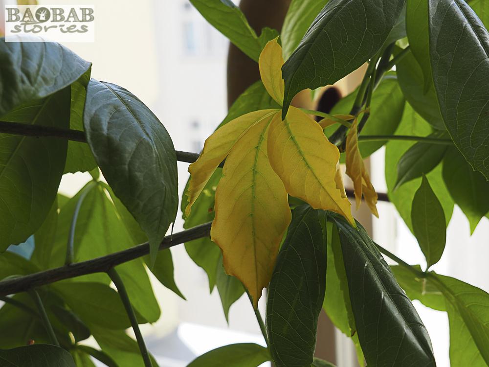 Wilting leaves on a baobab, Heike Pander