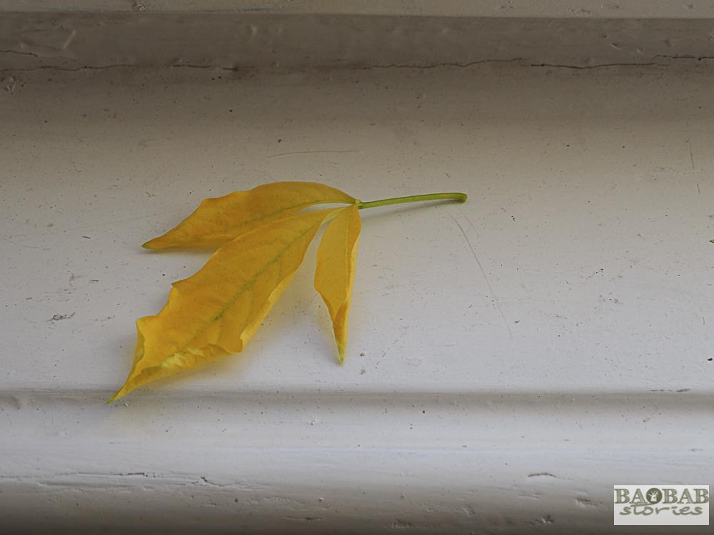 Yellow Baobab leaves, Heike Pander