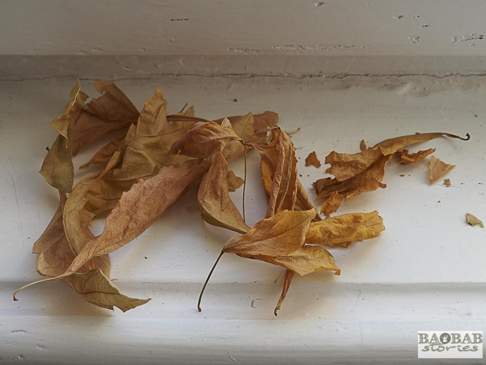 Wilted brown Baobab leaves, Heike Pander