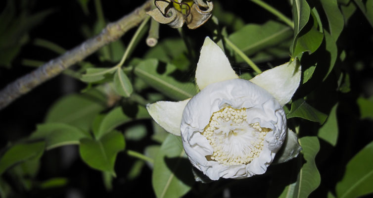 Newly opened baobab flower, Heike Pander