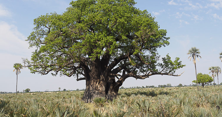 Ancient Baobab Tree, Moremi Game Reserve, Botswana