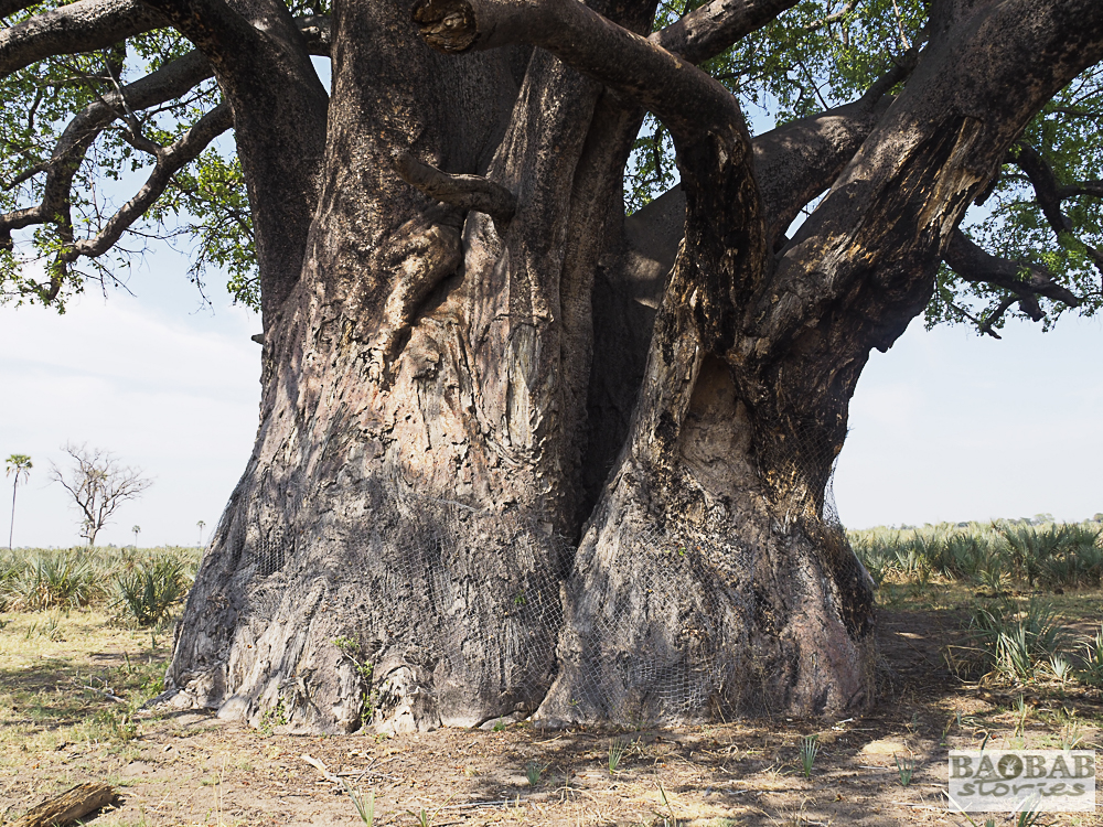 Baobab protected by mesh wire, Moremi Game Reserve, Botswana