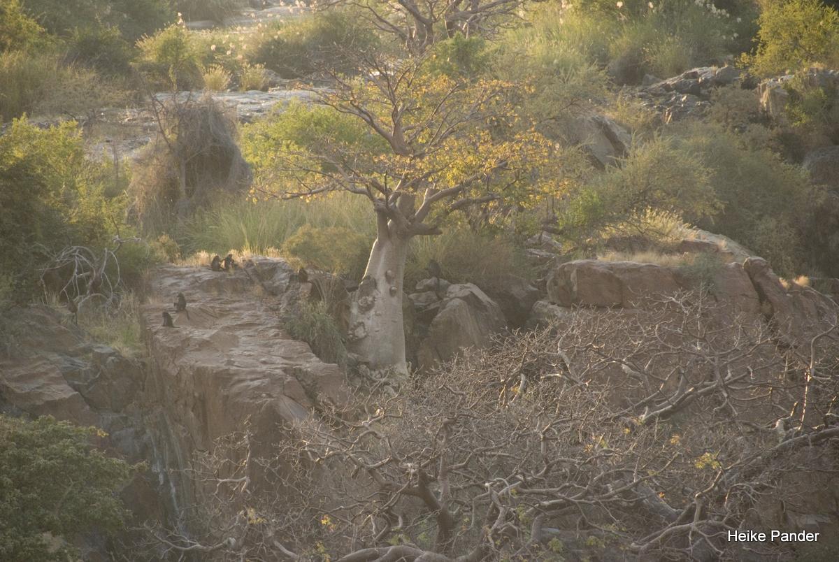 Paviane am Baobab, Epupa Falls, Heike Pander