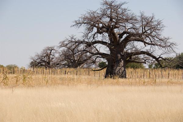 Baobab Outapi