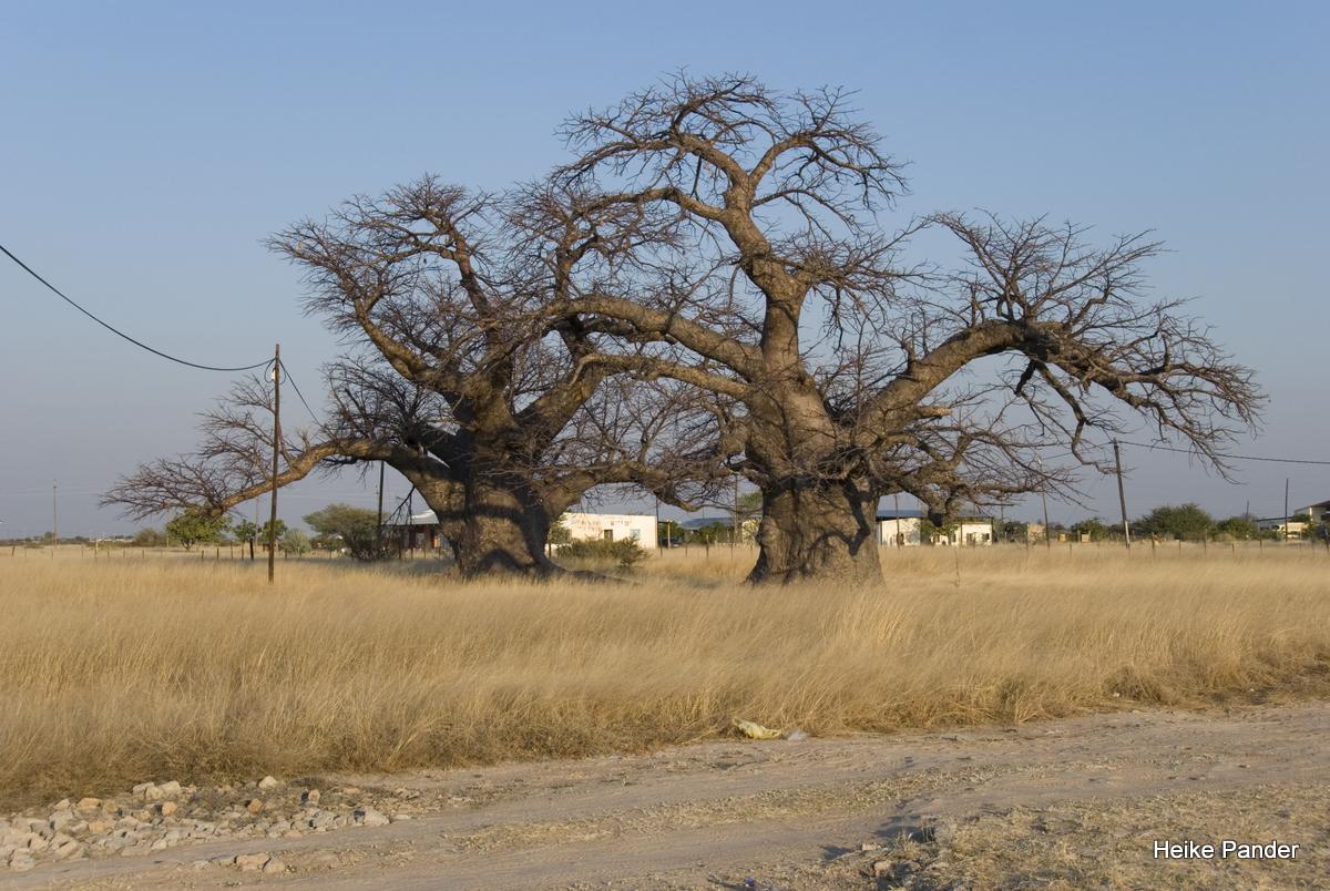 Baobabs Outapi