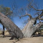 Baobabzwilling, Heike Pander