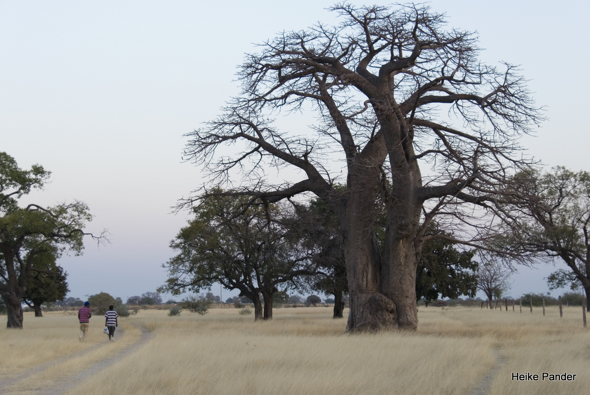 Besonderer Baobab-Standort: Outapi, Namibia