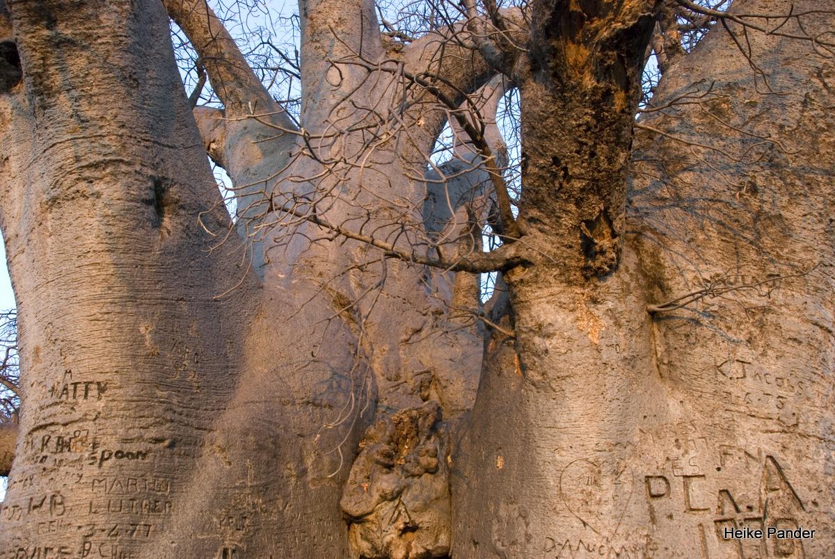 Baobab, Detail, Heritage Center, Outapi, Heike Pander
