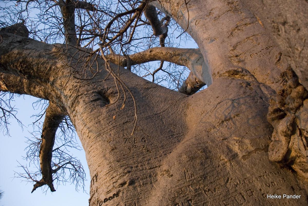 Baobab, Äste, Heritage Center, Outapi, Heike Pander