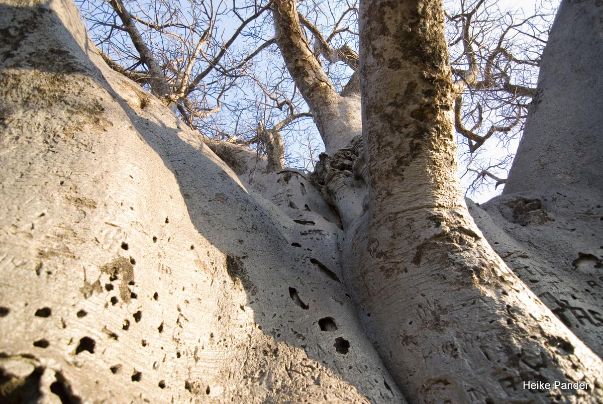 Baobab, Rinde und Äste, Heritage Center, Outapi, Heike Pander