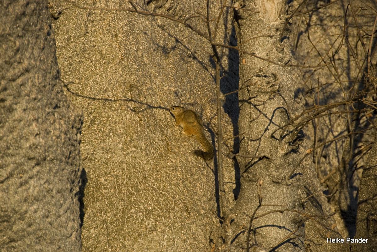 Holboom, Detail mit Hörnchen, Tsumkwe, Heike Pander