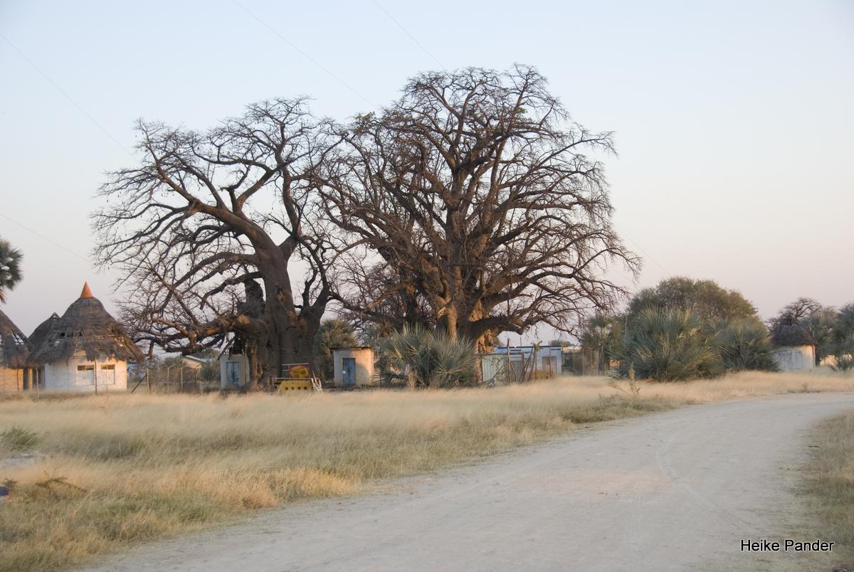 Baobabs, Outapi, Heike Pander