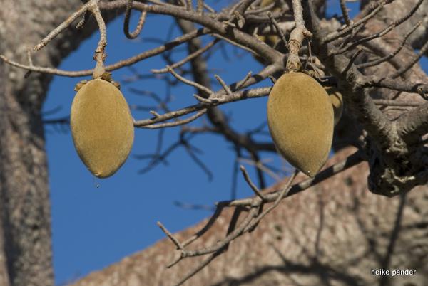 Früchte am Baobab
