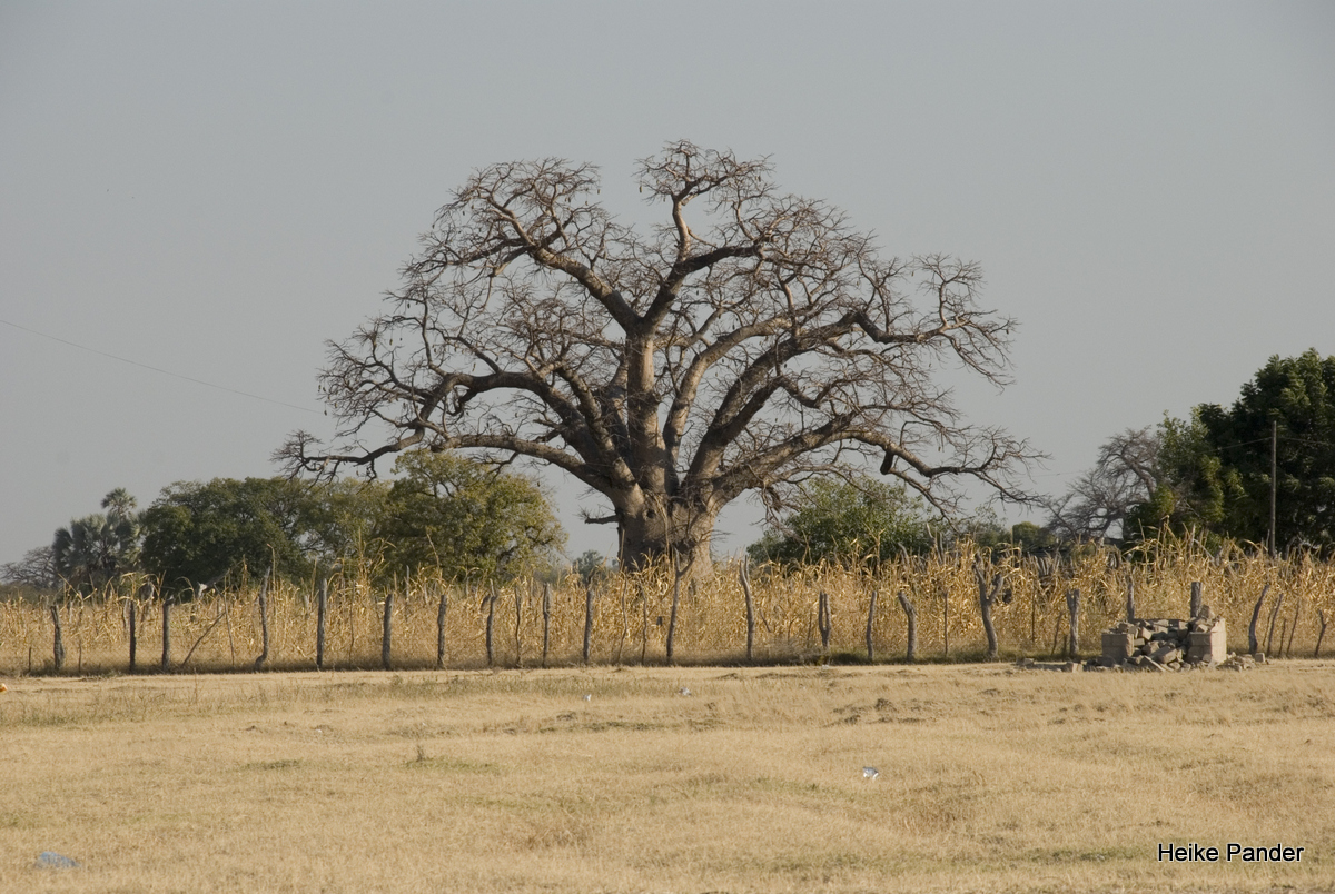 Baobab, Kulturlandschaft, bei Outapi, Heike Pander