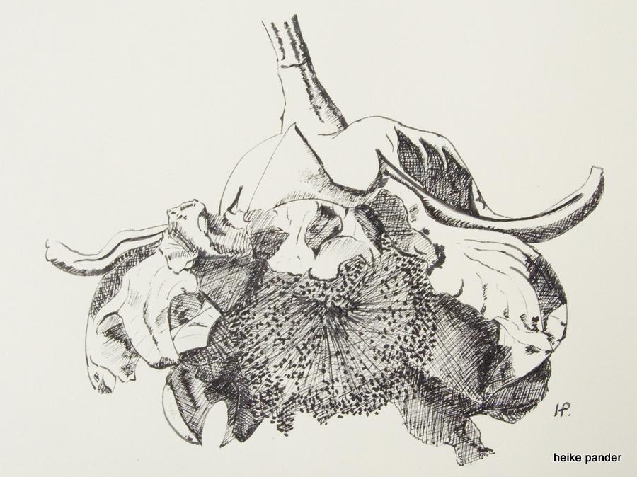 Blüte vom Baobab, Tinte auf Papier, Heike Pander, 2013