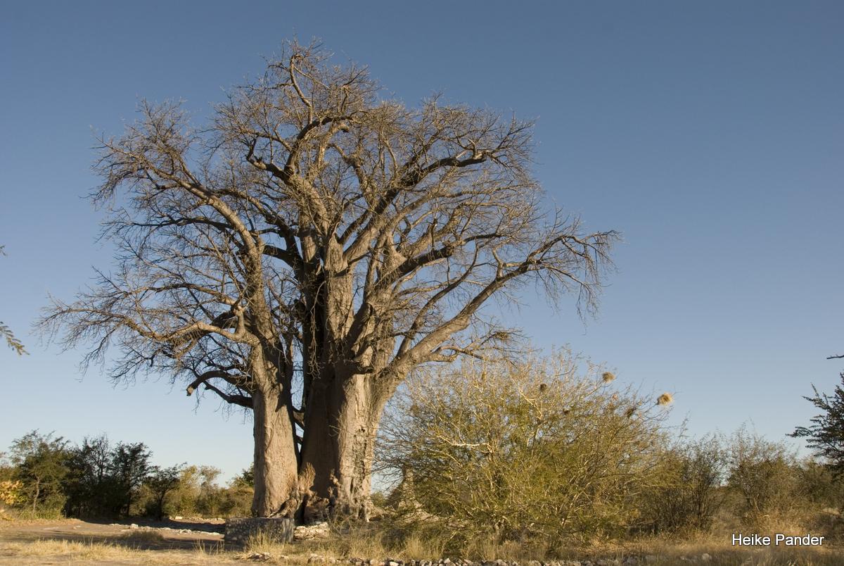 Baobab, Tsumkwe, Heike Pander