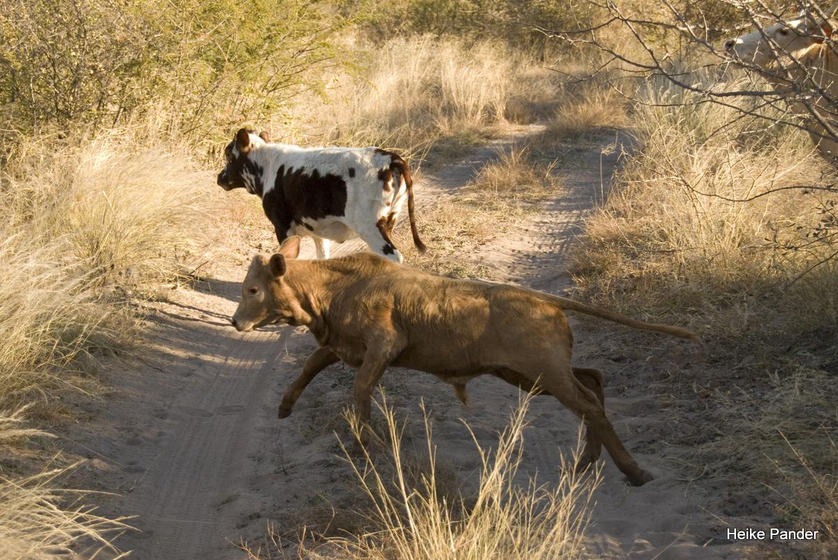 Rinder am Weg zum Holboom, Tsumkwe, Heike Pander