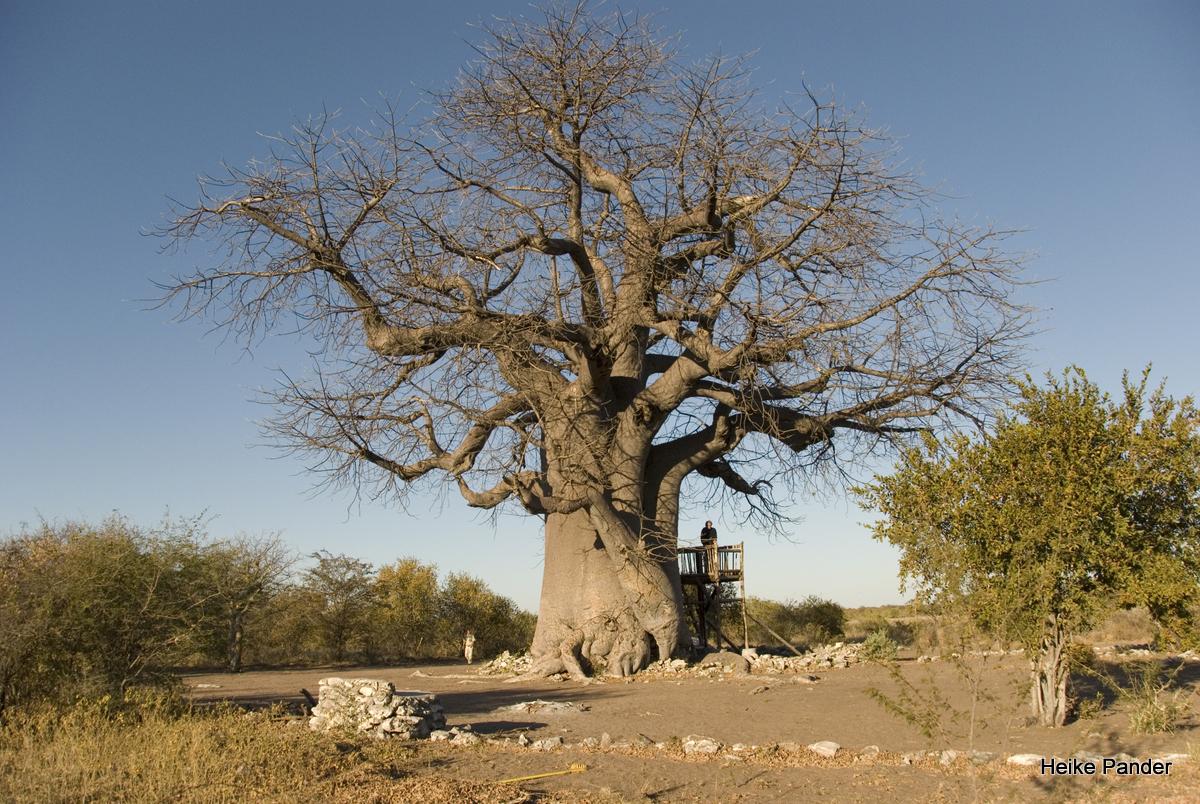 Baobab, Campingplatz, Tsumkwe, Heike Pander
