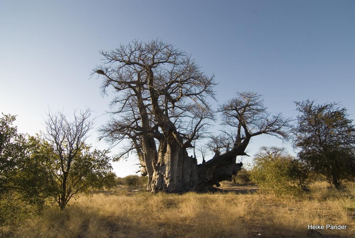 Baobab, Holboom, Heike Pander