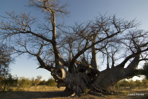 Holboom, Frontalansicht, Tsumkwe, Heike Pander