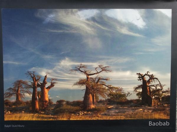 Baobab, Ralph Stutchbury