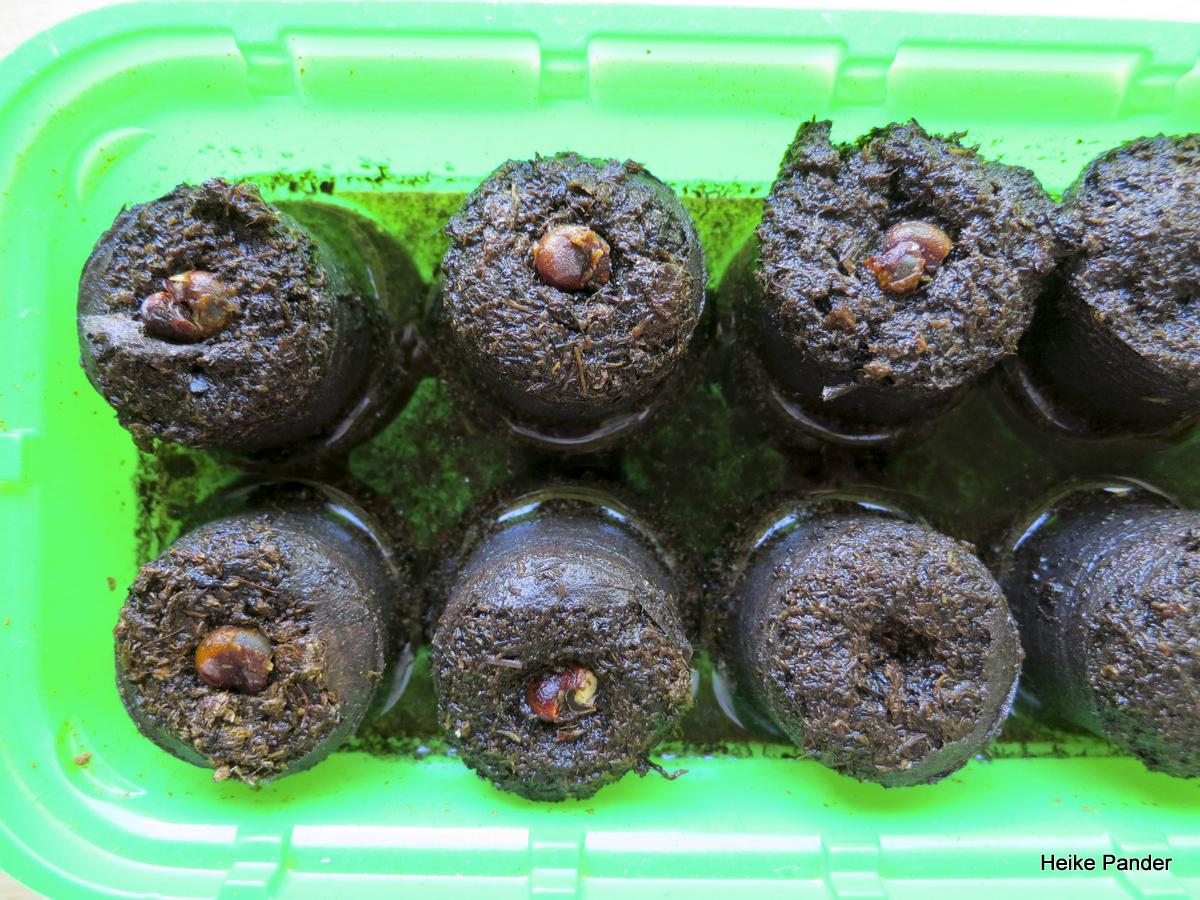 Baobab Samen Aussaht