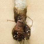 Baobabsetzling mit Wurzeln