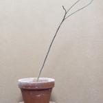 Baobab-Rückschnitt vom Dezember 2013