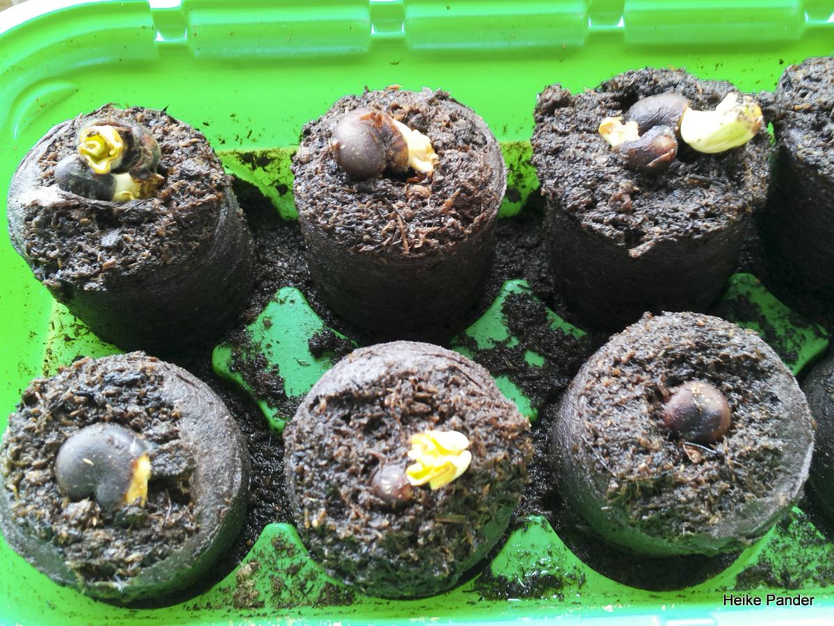 Baobab Samen, erste Austriebe