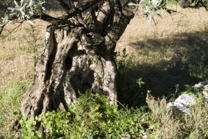Olivenbaum, Detail, Stamm