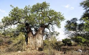 Baobab Hans-Jürgen Keck