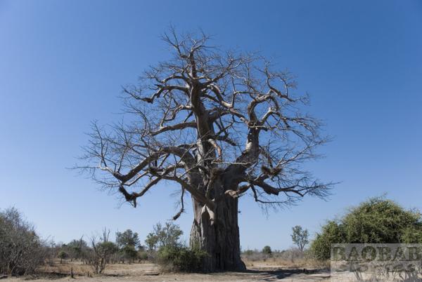 Baobab, South Luangwa, Sambia