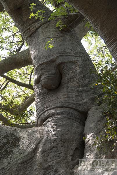 Sunland Baobab, Grimmiges Gesicht