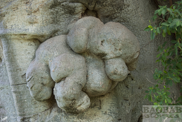 Sunland Baobab, Elefant