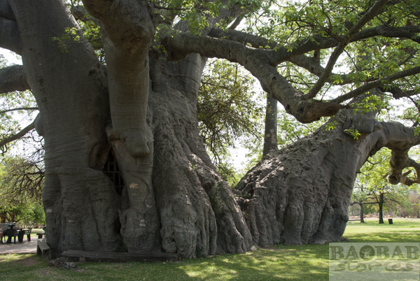 Sunland Baobab, zwei Stämme