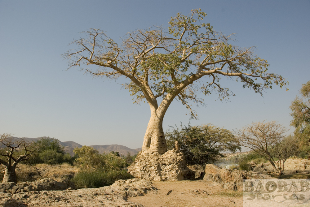 Baobab, Epupa Falls