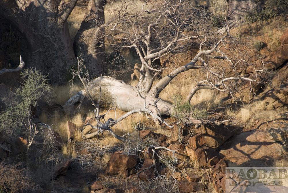 Baobab, liegend, Epupa Falls